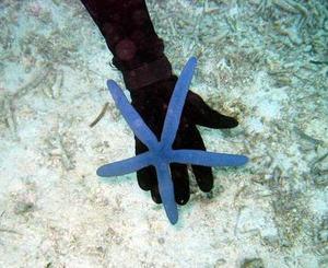 Bluestarfish